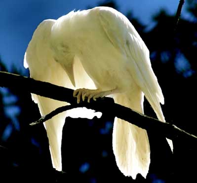 white raven magic